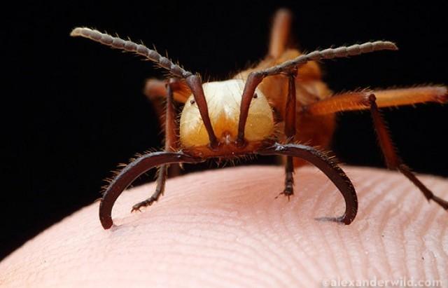Army Ant Bite